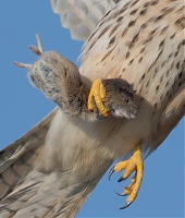 Wildlife_Photography-Nature_Photo_Portal-EdwardvanAltena-Common_Kestrel.jpg