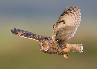 Wildlife_Photography-Nature_Photo_Portal-EdwardvanAltena-Long_Eared_Owl.jpg
